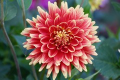 At Hornstra (Read2me) Tags: pree tcfe flower pink dahlia macro summer cye