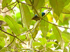 Hedydipna collaris ♂ (Luis G. Restrepo) Tags: suimangaacollarado collaredsunbird hedydipnacollaris ave bird nectariniidae nectarina tanzania africa ngorongoro karatu p2520022 passeriformes