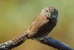 Pygmy Portait at Minimum Focusing Distance (Northern Pygmy Owl) (The Owl Man) Tags: