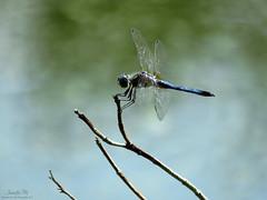 BLue Dasher male IMG_7663 (Jennz World) Tags: ©jennifermlivick mountpleasantnaturepark mtpleasant ontario canada dragonfly dragonflies damselfly damselflies