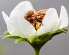 the innner sanctum (Paul Wrights Reserved) Tags: strawberry flower pollination pollen pollenating bee fur macro closeup petal petals wing hidden stem simple