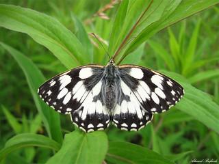 Butterfly 1413