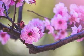 August Sakura 🌸 8月�桜