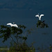 Early morning. Storks at the lake       THX_5344s-nw