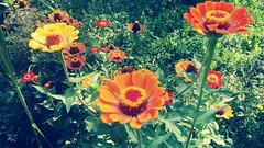 """""""Orange is the happiest color."""" Frank Sinatra (dijetesvemira) Tags: flowers vrt cvijet cvijeće orange narančasta ljeto summer nature priroda zeleno green plant biljka colorful vivid bright"""