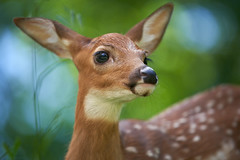White-tailed Deer Fawn Close-up (Bryan Carnathan) Tags: fawn whitetaileddeer whitetaildeer whitetaileddeerfawn deer wildlife wildlifephoto wildlifephotography animal baby animalbabies babyanimals cuteanimals bokeh sony sonyalpha sonya7rii sonya9 itsinmynature