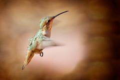 Warrior (Life of David) Tags: california camarillo canon5dmarkiv selasphorussasin usa wildlife allenshummingbird backyard beautiful beauty bird cute hummingbird nature world100f