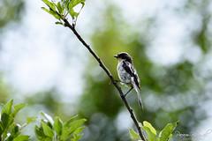 Grey Bush Chat (PB2_2073) (Param-Roving-Photog) Tags: grey bushchat male bird wildlife nature himalayas birding birdphotography wildlifephotography tirthan himachal nikon tamron