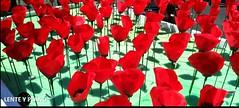 Poppy (lenteyplano) Tags: flores photo foto nature naturaleza naturelovers flowers poppy
