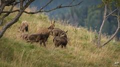 La bande de petits jeunes (Vosges, France) (AT Photographie) Tags: chamois vosges alsace nikon nature sauvage faune vosgienne chaume