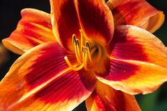 Daylily (San Francisco Gal) Tags: daylily flower fleur flora bloom blossom macro hemerocallis stamen pollen petal ngc