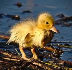 Baby - Montpellier (Marc ALMECIJA) Tags: poussin canard jacques coeur montpellier oiseau bird aves water eau amateur wildlife nature natur sony rx10m3 duck
