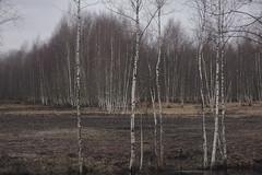 winter tears II (Mindaugas Buivydas) Tags: lietuva lithuania color winter february tree trees mood moody sadnature birch forest favoriteplaces delta nemunasdelta nemunasdeltaregionalpark nemunodeltosregioninisparkas bismarckžalgiriai mindaugasbuivydas thistagisforme memelland