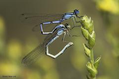 Enallagma cyathigerum (Ricardo Menor) Tags: odonatos zygópteros libélulas caballitos reproducción enallagmacyathigerum 2016 coto villena alicante macrofotografia insecto