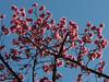 Pessegueiro (Antônio A. Huergo de Carvalho) Tags: árvore árvores flor flower tree trees nature natureza pessegueiro rosa pink corderosa fotografia foto