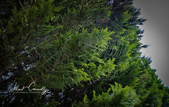 Tree Web (4 Pete Seek) Tags: web spiderweb cobbcounty cobbcountygeorgia westcobb cobb wideangle ultrawideangle superwideangle swa uwa wa mirrorless sonymirrorless a6300 sonya6300