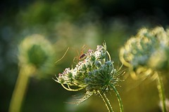 summer moods (JoannaRB2009) Tags: summer mood meadow flower spider plant plants flowers sunset goldenhour nature closeup calden hesse hessen germany deutschland animal insect green