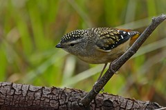Spotted Pardalote (F) (Rodger1943) Tags: pardalotes spottedpardalote australianbirds fz1000