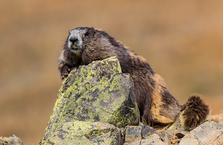 Olympic Marmot (Marmota olympus) - Port Angeles, WA