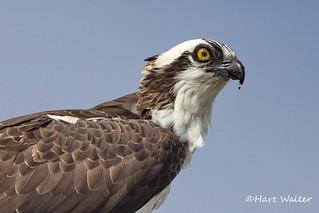 Osprey, feeding, Florida, FL IMG_2660
