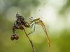 booooookeh (Santi BF) Tags: sympetrumfonscolombii sympetrum dragonfly odonato odonata anisoptera anisóptero libélula libèl·lula bicho bug macro closeup aproximación