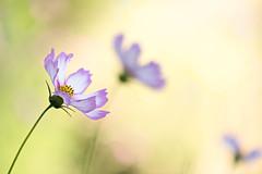 Cosmos (mclcbooks) Tags: flower flowers floral denverbotanicgardens colorado cosmos bokeh