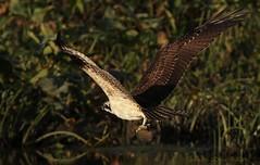 catch (don.white55 That's wild...) Tags: ospreypandionhaliaetus wildwoodlake wildwoodpark harrisburgpennsylvania dauphincounty canoneos70d tamronsp150600mmf563divcusda011 canon tamron 150600mm bird birdofprey nature wildlife