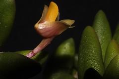 Davejonesia prenticei (andreas lambrianides) Tags: davejonesiaprenticei cylindricalbuttonorchid orchidaceae dendrobiumlichenastrumvarprenticei dendrobiumprenticei bulbophyllumprenticei dendrobiumvariabile australianflora australiannativeplants australianrainforests australianrainforestplants australianrainforestorchids australianrainforestflowers epiphyte liyhophyte arfp qrfp davejonesia arfepiphyte arflithophyte arfflowers orangearfflowers