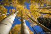 Upward Autumn View (dekish1) Tags: canon7dmarkii canon1755mm autumn aspen copyrightdavidkish2017