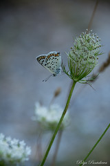 Butterfly magic (Polya Photography) Tags: butterfly bulgaria insects outdoor animal tenderness fragility blue beautiful nikon ngc colors lovely d5200 summer flowers nature photography