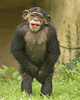 CAUGHT WITH HIS PANTS DOWN (Mike S Perkins) Tags: kczoo milo chimpanzee modest ashamed hiding embarrassed infant kansascity green brown standing covering privates kid selfawareness selfconsciousness pathetic