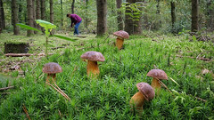 Heute hat sich das Pilze sammeln so richtig gelohnt :-) (AchimOWL) Tags: pilz makro macro outdoor dmcgh5 gh5 natur nature lumix panasonic ngc macrodreams schärfentiefe wildlife stack fauna mushroom wald steinpilz steinpilze moos nrw oerlinghausen