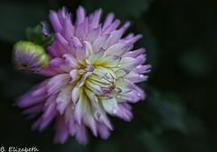 IMG_9890c (Barbara.Elizabeth) Tags: lensbabysweet50 flower softfocus macro canon80d longisland plantingfields dahlia pink