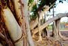 dsc01572 (space lama) Tags: moretonbayfig banyan tree bokeh roots