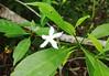 pittosporum.rubiginosum.leaves.flower (dave.kimble) Tags: pittosporum pittosporumrubiginosum pittosporaceae hairyredpittosporum arfp qrfp cyrfp tropicalarf lowlandarf uplandarf understoreyarfp arfflowers whitearfflowers
