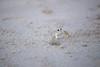 On The Lookout (haddartist) Tags: beach sand textures closeup crab ghostcrab little small wildlife nature sealife sunset dusk evening lastlight virginiabeach virginia