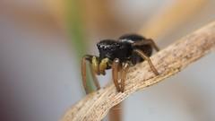 jumping spider, Heliophanus flavipes/cupreus (David_W_1971) Tags: arachnids jow2017 raynox dcr250