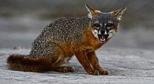 Frustrated Fox Portrait DSC_5084