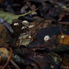 The small things in life. (sabinebeu) Tags: outdoor fall autumn herbst fragile fragil klein winzig schirmchen dark dunkel laub wald forest sabinebeu shrooms mushrooms pilze