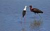 Rencontre... (PACHA23) Tags: andalousie bird aves fauna wildlife faune viesauvage lagune ibisfalcinelle échasse