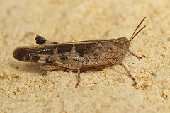 Aiolopus strepens (henk.wallays) Tags: aaaa europa france gard henkwallays location rousson closeup macro nature natuur wildlife aiolopusstrepens arthropoda insect orthoptera orthoptères cricket grasshopper insecta insecte insekt sauterelle sprinkhaan sprinkhanen
