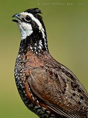 Susan Faulkner Davis, Northern Bobwhite male close-up copy