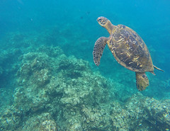 Kauai Waters (Matt Champlin) Tags: hawaii fun adventure boat boating idyllic snorkeling swim swimming ocean seaturtles greenturtles kauai napali napalicoast canon 2017 life mountains rainbow untouched perfect peace peaceful