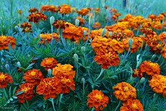 Floral (Zsofia Nagy) Tags: ourdailychallenge flower flowers fleur floral marigold büdöske bársonyvirág garden virág kert green orange contrast 7daysofshooting week6 inthegarden texturetuesday