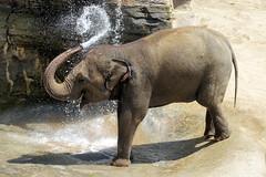Celebrating World Elephant Day on August 12 [In Explore 8/12/17] (greekgal.esm) Tags: asianelephant elephant pachyderm animal mammal shaunzi losangeleszoo lazoo losangeles griffithpark california sony rx10m3 rx10iii worldelephantday