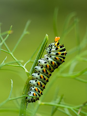 caterpillar (de_frakke) Tags: machaon caterpillar rups koninginnepage venkel macro