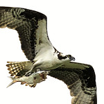 osprey with fish 4 thumbnail