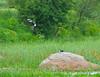Cotton Pygmy Teals (Venugopal Bsnl) Tags: cotton teals venugopalbsnl googleimages ameenpur images serilingampally