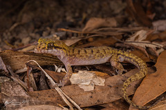 Chevert's Gecko (R. Francis) Tags: nactuscheverti chevertsgecko ryanfrancis ryanfrancisphotography qld queensland fitzroyisland fitzroyislandnationalpark