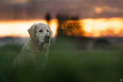 Up early (Cle Manuel) Tags: golden retriever dog nature sunrise sunset sky clouds hund samyang 135mm f2 sony alpha a6000 clemanuel cle manuel tierfotografie animals bokeh labrador